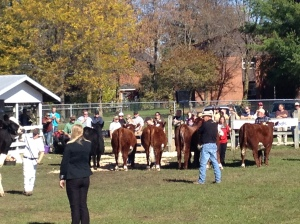 These cows are for eating, but at the fall fair, they are treated like queens.