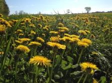 Field of dandelions.