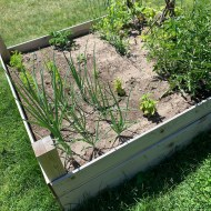 A small vegetable garden, half-grown, with onions, carrots, tomatoes, beans, peas, kale and basil.